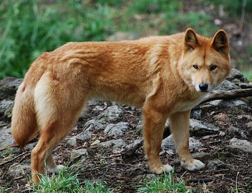 Dingo – Breeders, Puppies and Breed Information