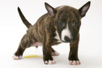 Urinary Tract Disorders in Dogs