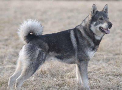 Elkhound (Jamthund) - Breeders