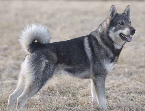 Elkhound (Jamthund) – Breeders, Puppies and Breed Information