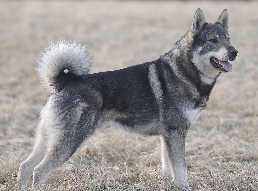 Elkhound (Jamthund) - Breeders