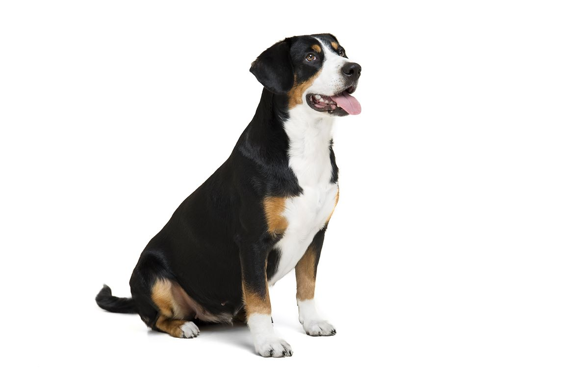 Entelbuch Mountain Dog Or Entelbucher Sennenhund Breeders