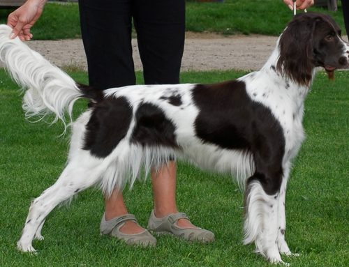 Epagneul Francis – Breeders, Puppies and Breed Information