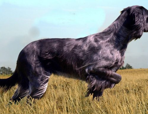 Epagneul Bleu de Picardie – Breeders, Puppies and Breed Information