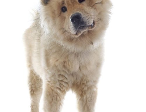 Eurasian (Eurasier) – Breeders, Puppies and Breed Information