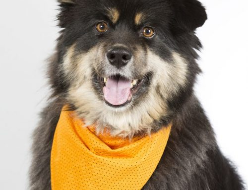Finnish Lapphund – Breeders, Puppies and Breed Information