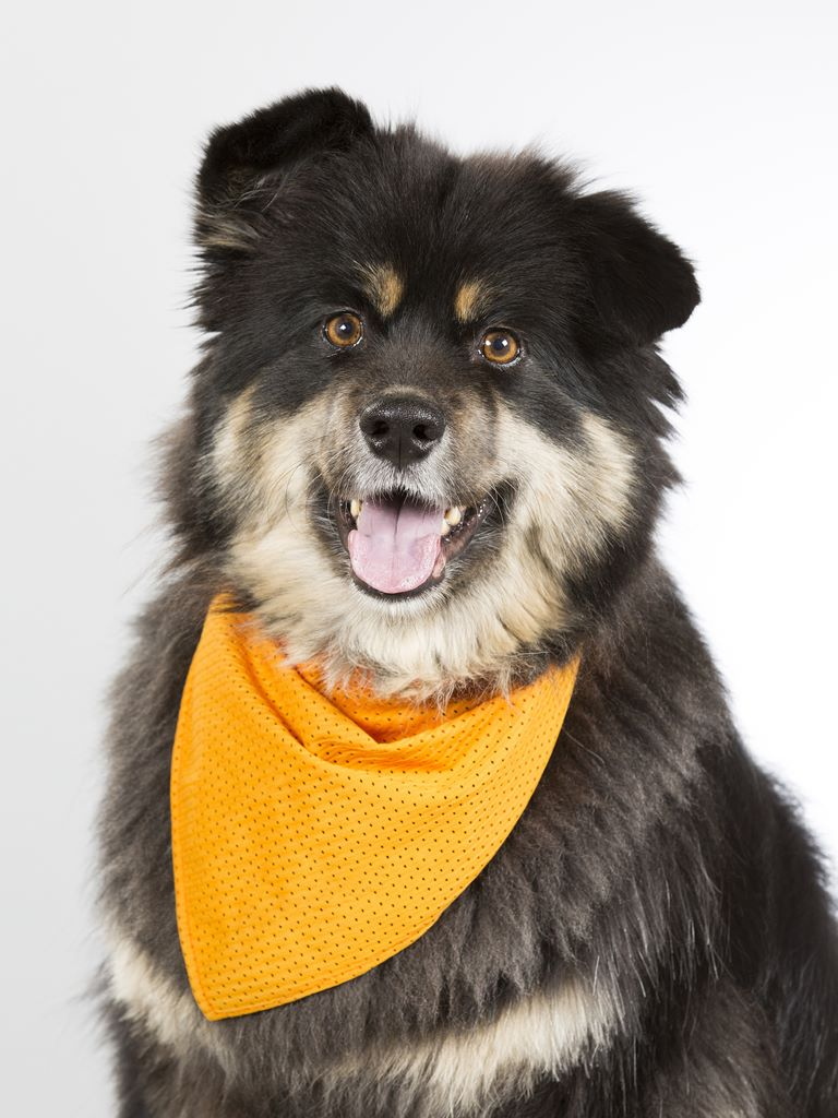 Finnish Lapphund - Breeders