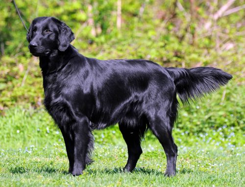 Flat Coated Retriever – Breeders, Puppies and Breed Information
