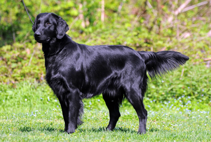 Flat Coated Retriever - Breeders