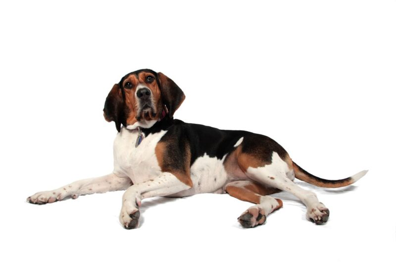 English Foxhound - Breeders