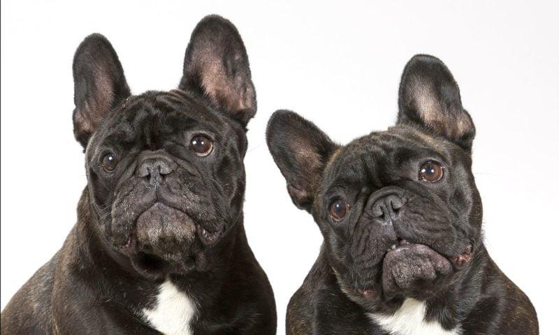 French Bulldog - Breeders