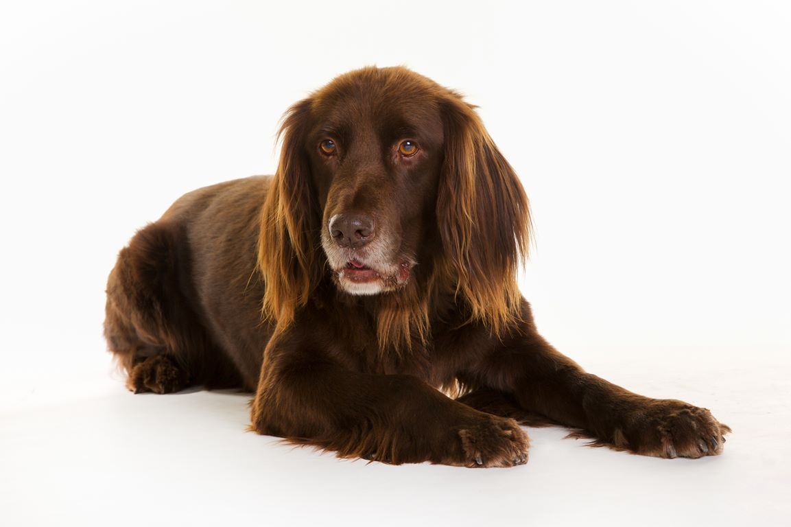 German Pointer (Long-haired) – Long Haired German Pointer – Breeders, Puppies and Breed Information