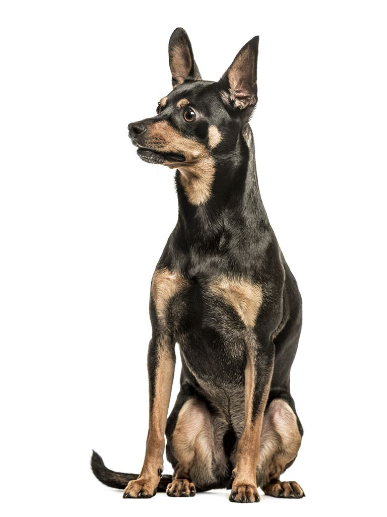 German Pinscher - Breeders