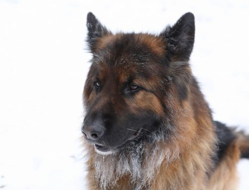 German Shepherd Dog – Breeders, Puppies and Breed Information