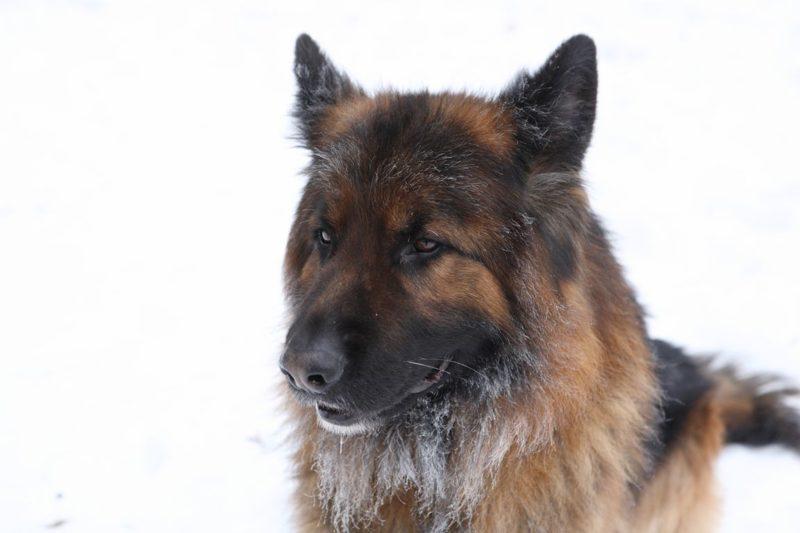 German Shepherd Dog - Breeders, Puppies and Breed