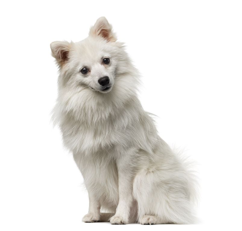 German Spitz - Breeders
