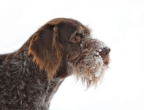 German Pointer (Wire-haired) – Breeders, Puppies and Breed Information