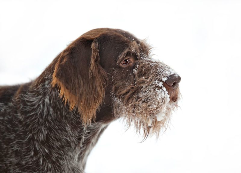 German Pointer (Wire-haired) - Breeders