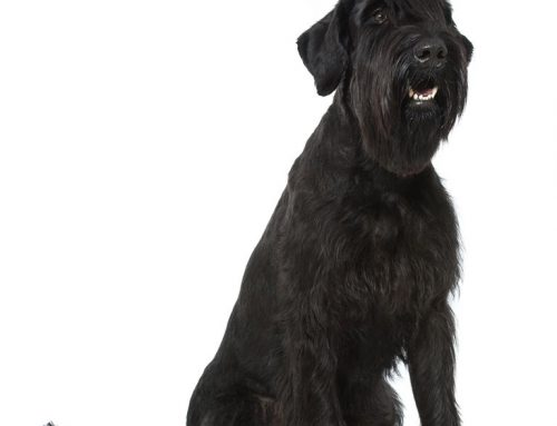 Giant Schnauzer – Breeders, Puppies and Breed Information