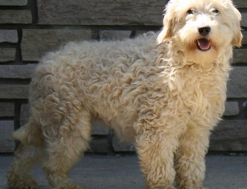 Goldendoodle – Golden doodle – Breeders, Puppies and Breed Information