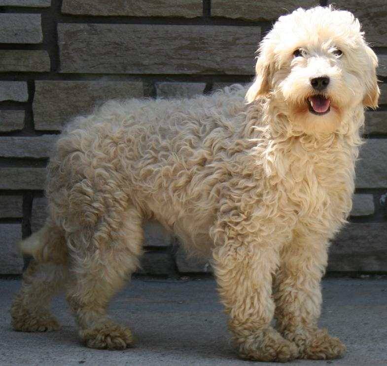 Goldendoodle - Golden doodle - Breeders