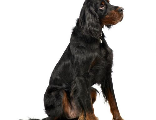 Gordon Setter – Breeders, Puppies and Breed Information