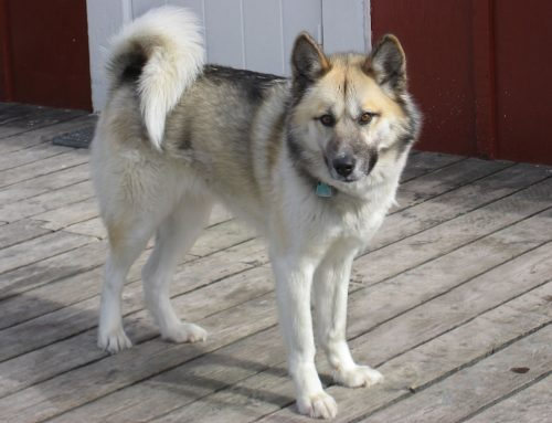 Greenland Dog – Breeders, Puppies and Breed Information