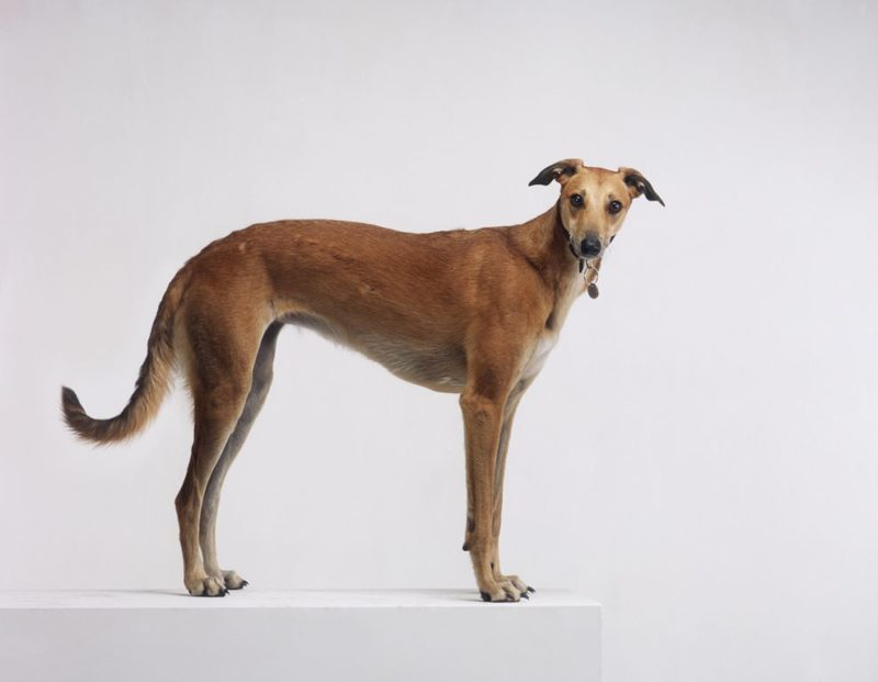 Greyhound - Breeders