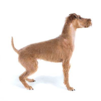 Irish Terrier - Breeders