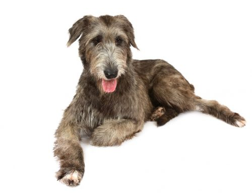 Irish Wolfhound – Breeders, Puppies and Breed Information