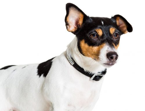 Jack Russell Terrier – Breeders, Puppies and Breed Information