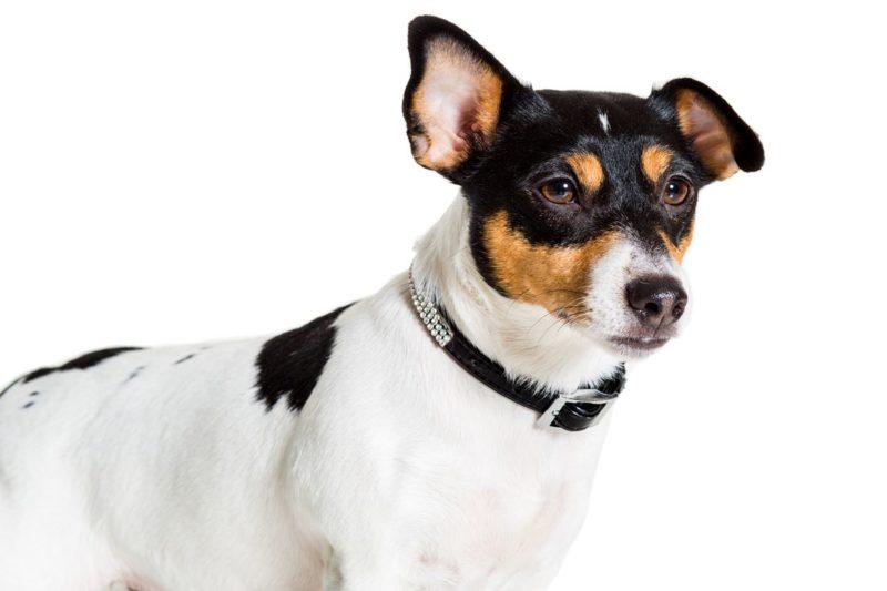 Jack Russell Terrier - Breeders