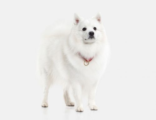 Japanese Spitz – Breeders, Puppies and Breed Information