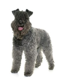Kerry Blue Terrier - Breeders