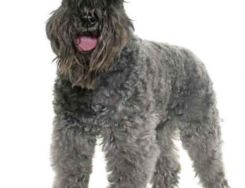 Kerry Blue Terrier – Breeders, Puppies and Breed Information