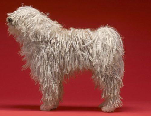 Komondor – Breeders, Puppies and Breed Information