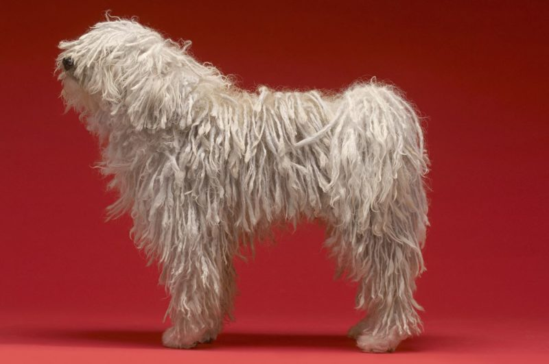 Komondor - Breeders