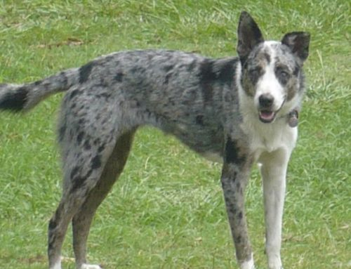 Koolie Dog – Breeders, Puppies and Breed Information