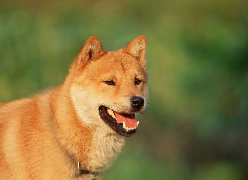 Korean Jindo Dog - Breeders
