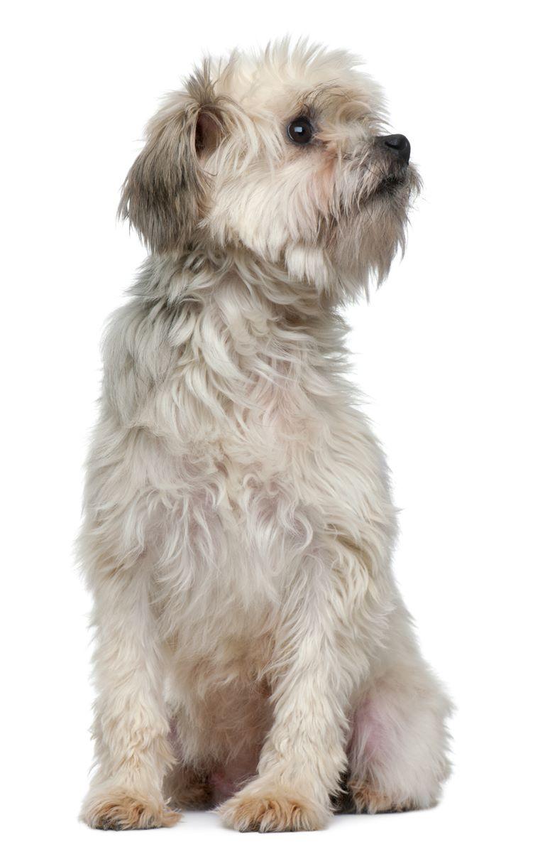Lowchen - Little Lion Dog - Breeders