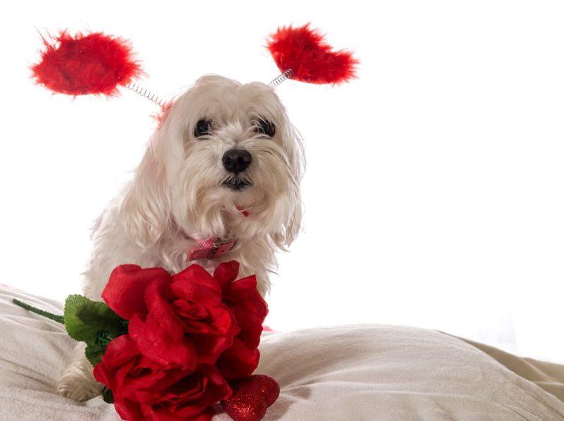 Maltese Terrier - Breeders
