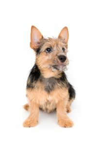 Norwich and Norfolk Terriers - Breeders