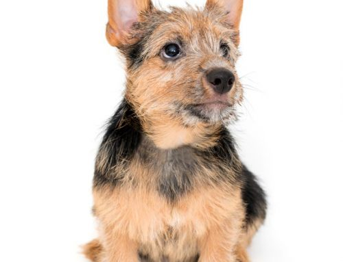 Norwich and Norfolk Terriers – Breeders, Puppies and Breed Information