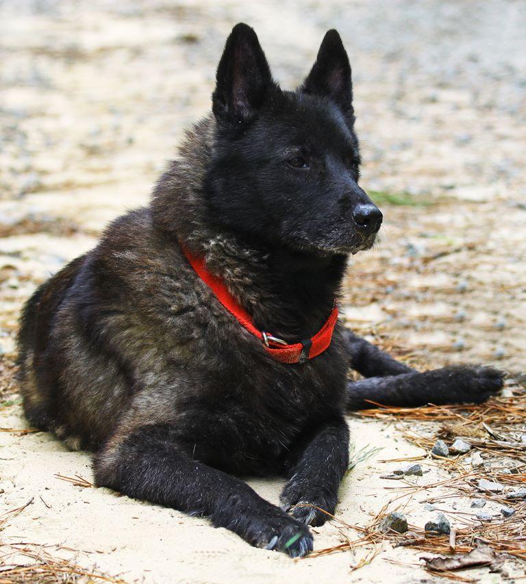 Norwegian Elkhound - Breeders