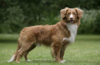 Nova Scotia Duck Tolling Retriever - Breeders