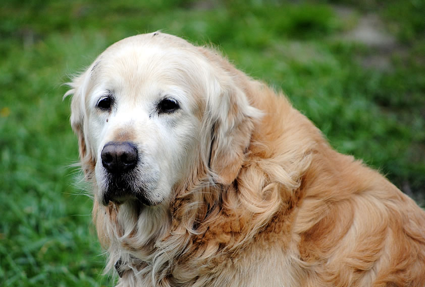 Your Aging Dog
