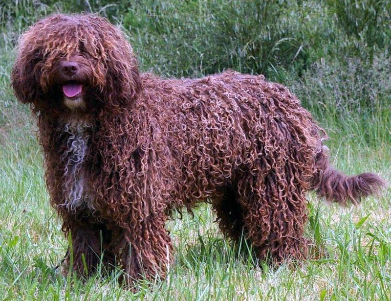 Perro de Agua Espanol - Breeders