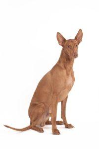 Pharaoh Hound - Breeders
