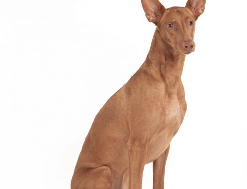 Pharaoh Hound – Breeders, Puppies and Breed Information