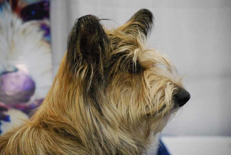 Picardy Shepherd Dog - Breeders